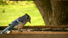 Blue Jay Close-up Stock Footage