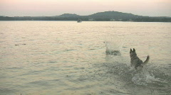 Dog retrieving stick in deep lake at sunset HD Stock Footage