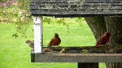 Cardinals at a Bird Feeder - stock footage