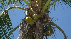 Coconut Trees Cocos nucifera  in the Philippines - stock footage