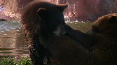Black Bear Cubs Playing Stock Footage