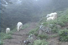 Mountain Goats in the mist Stock Footage