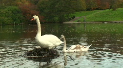 2 adult and 2 young swans on a lake Stock Footage