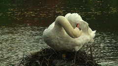 Adult swan cleaning its feathers Stock Footage
