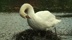 Adult swan cleaning its feathers. HD 1080i Stock Footage