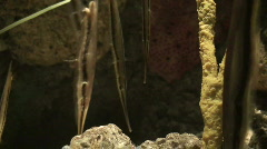 Coral or stripped shrimpfish (Centriscidae) 2 Stock Footage