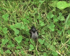 Humble-bee walking on the grass Stock Footage