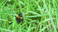 Bumble-bee in a wet grass Stock Footage