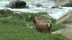 Feeding chamois Stock Footage