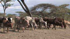 Ethiopia: Girl drives cattle to water Stock Footage