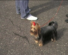 Yorkshire Terrier waiting for contest IV Stock Footage