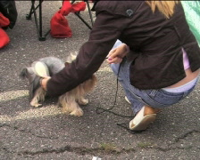 Yorkshire terrier waiting for contest V Stock Footage