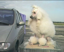 White poodle waiting for dogshow II Stock Footage