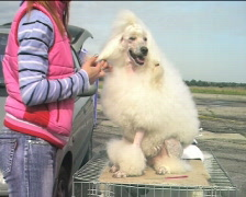 White poodle waiting for dogshow III Stock Footage