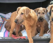 Four little Irish Wolfhounds Stock Footage