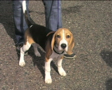 Basset hound waiting for contest Stock Footage