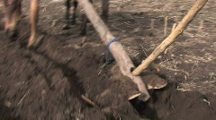 Ethiopia: Man plows field with cattle and hand plow. Stock Footage