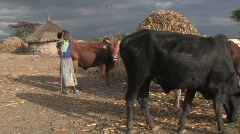 Ethiopia: Young girl tends Family's cattle. Stock Footage