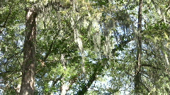 Spanish Moss in Cypress trees HD Stock Footage