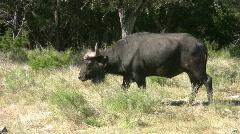 Cape Buffalo walking tracking HD Stock Footage