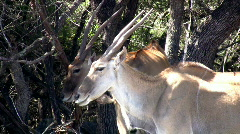 Eland standing under trees African wildlife close HD Stock Footage