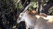Stock Video Footage of Eland standing under trees African wildlife close HD