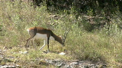 Blackbuck walking up hill close HD Stock Footage