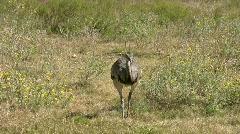 Rhea bird walking tracking HD Stock Footage