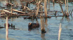 Two horned grebes in a lake 1 Stock Footage
