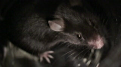 Slow motion of sniffing mouse Stock Footage