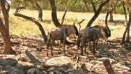 Wildebeest standing under a tree HD Stock Footage