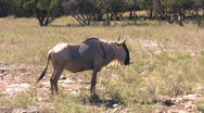 Wildebeest standing then walk away HD Stock Footage