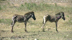 Zebra two young standing broadside HD Stock Footage