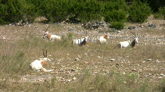 Scimitar Horned Oryx herd laying down HD Stock Footage