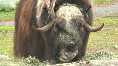 Buffalo in a Zoo 1 Stock Footage