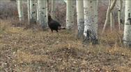 Wild Turkeys in Utah Stock Footage