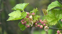 Black currant blooming Stock Footage