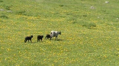 Baby Lamb and Mother Sheep walking - stock footage