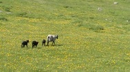 Baby Lamb and Mother Sheep walking Stock Footage