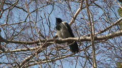 Crow (Corvus corvidae) on a tree 6 - stock footage