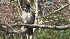 Crow (Corvus corvidae) on a tree 5 - stock footage