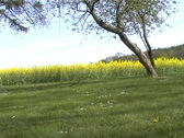 Stock Video Footage of rape field