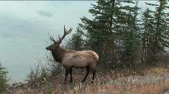 Bull Elk in Jasper Stock Footage