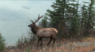Stock Video Footage of Bull Elk in Jasper