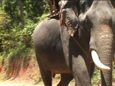 Stock Video Footage of Elephant on Koh Samui (Thailand)