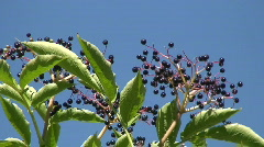 Black Elderberry (Sambucus Nigra) berries Stock Footage