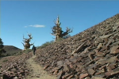 Bristlecone Pine Forest Stock Footage