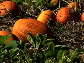 Stock Video Footage of Pumpkin patch