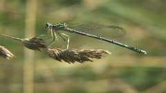 closeup of dragonfly  - stock footage
