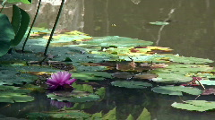 Waterlily pond Stock Footage